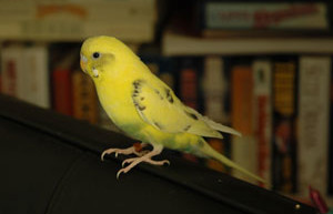 Everything You Wanted to Know About Pet Parakeets and Budgies