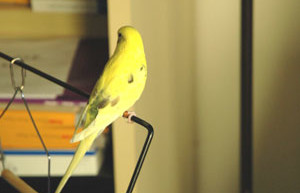 Buying and Training Parakeets